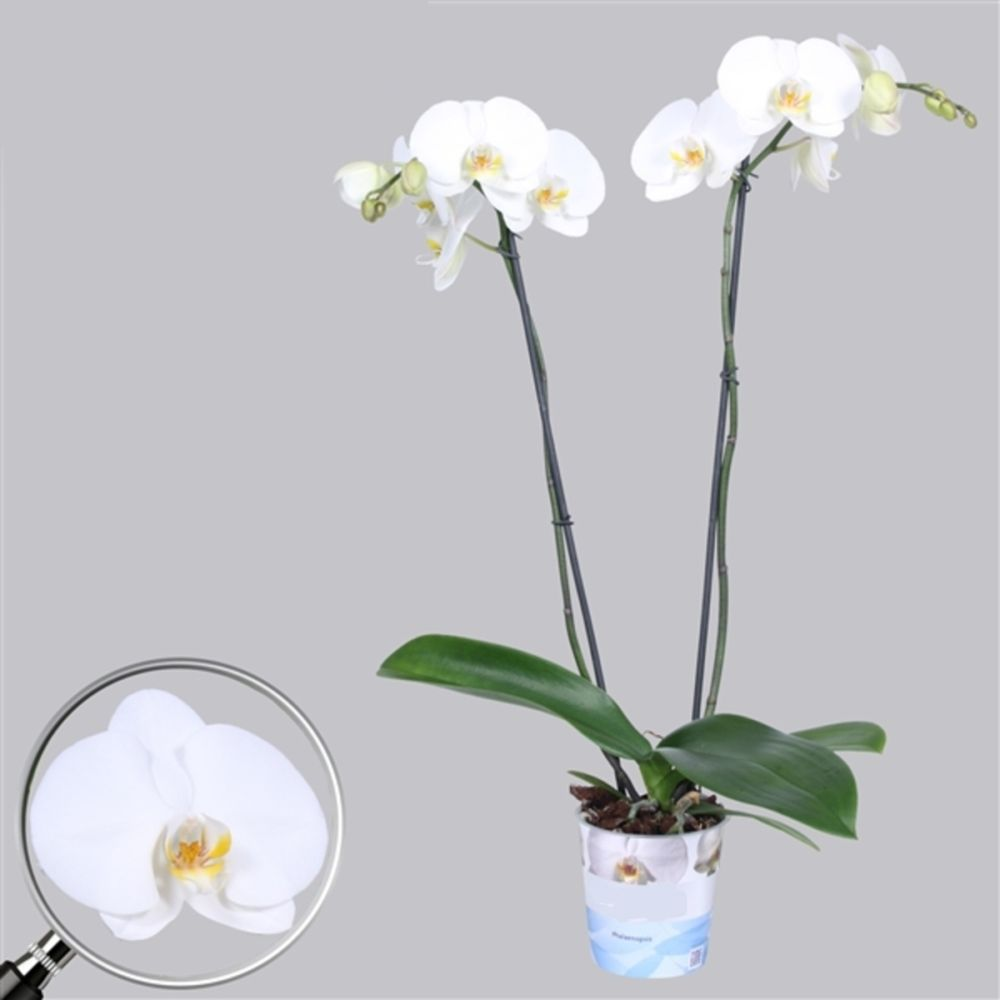 orchidee 4 tiges