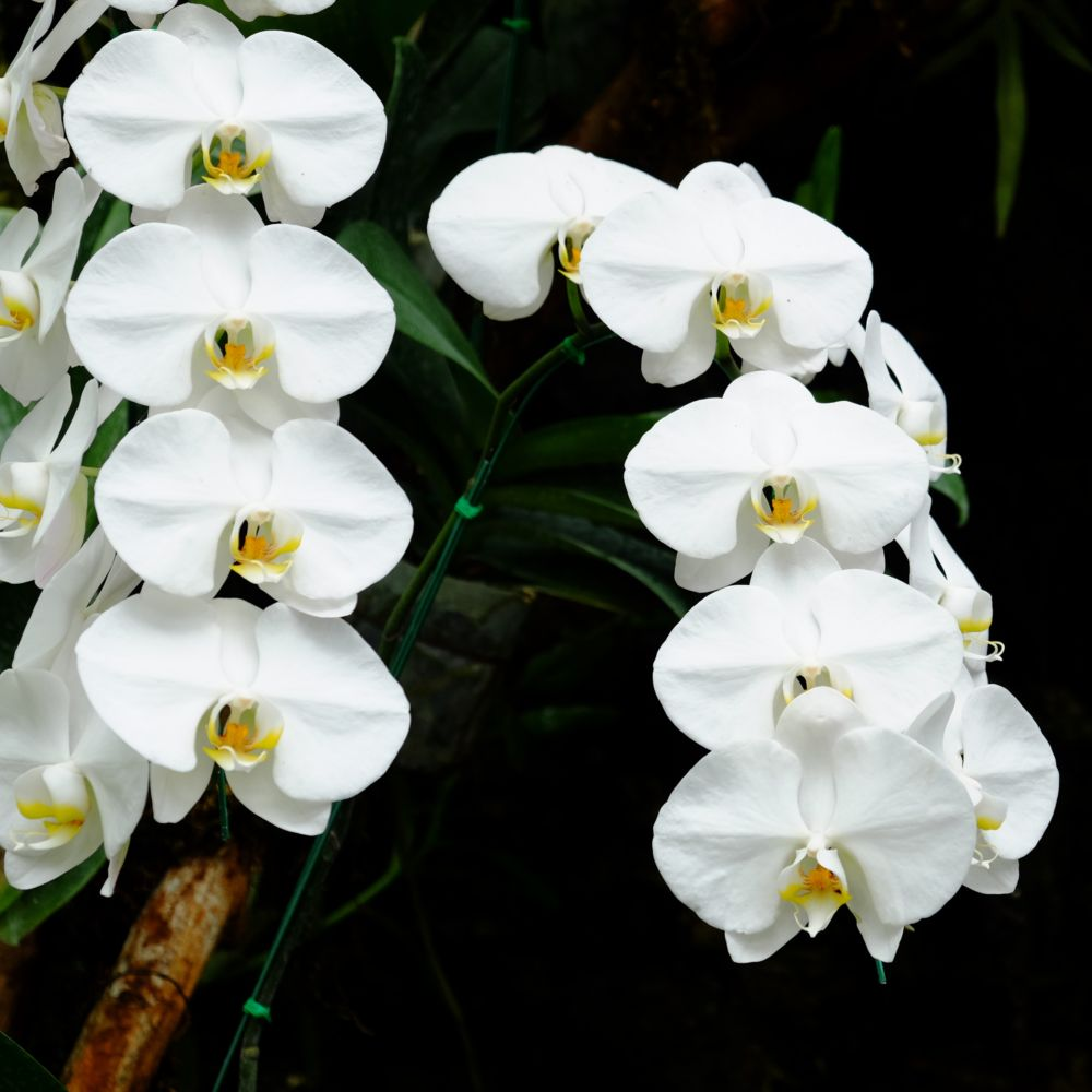 orchidee sc-6