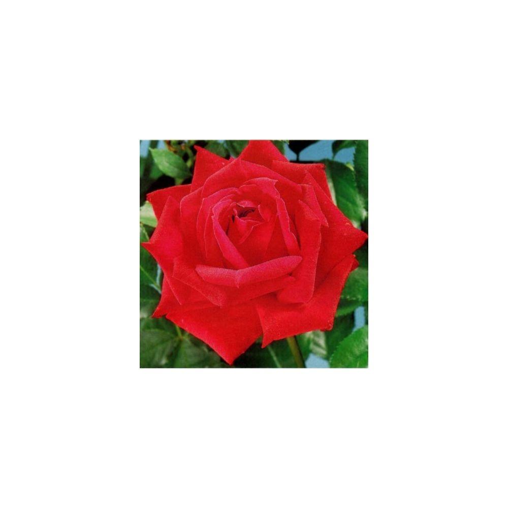 Rosier 'Red Masterpiece ®' – Rosier Guillot
