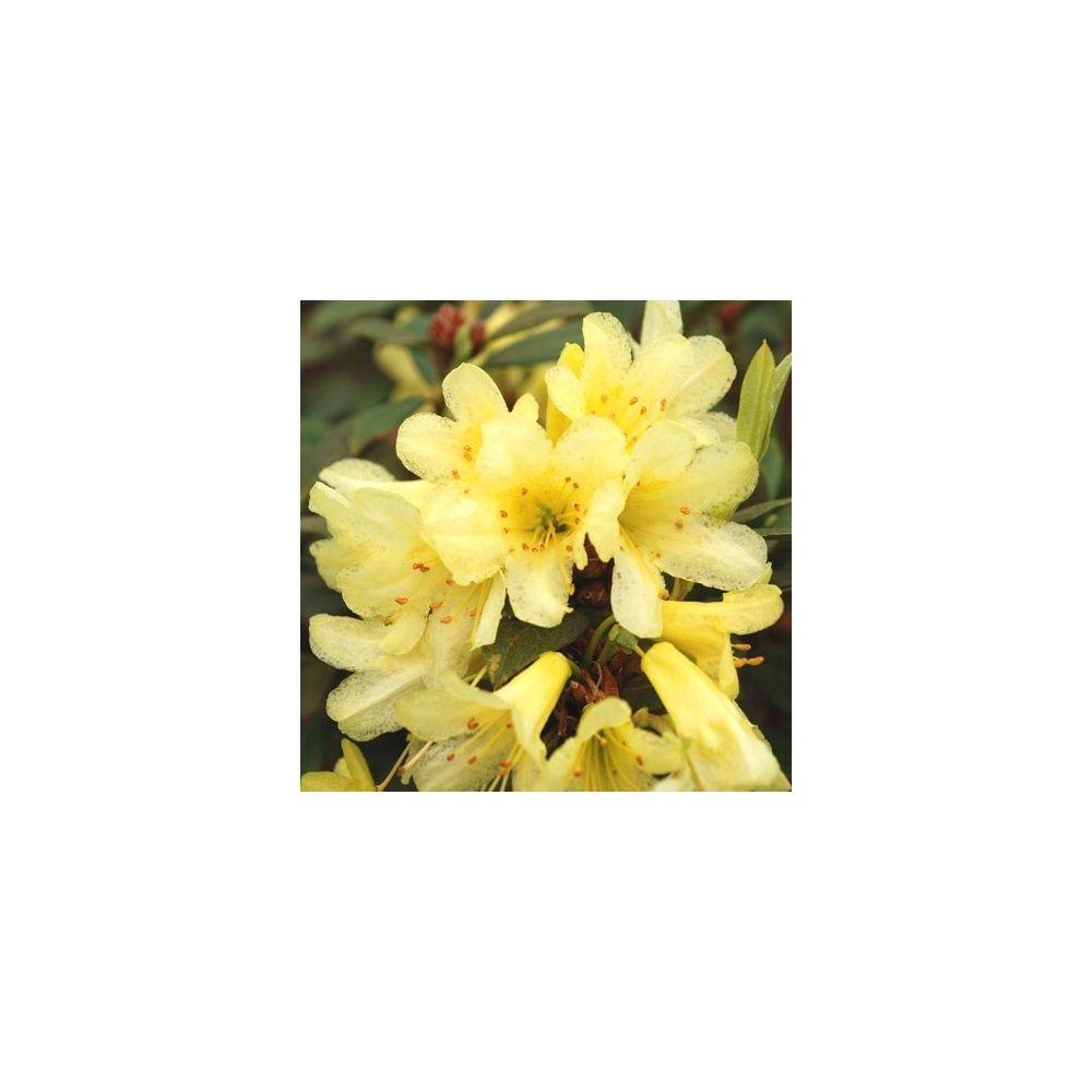 Rhododendron nain 'Saffron Queen'