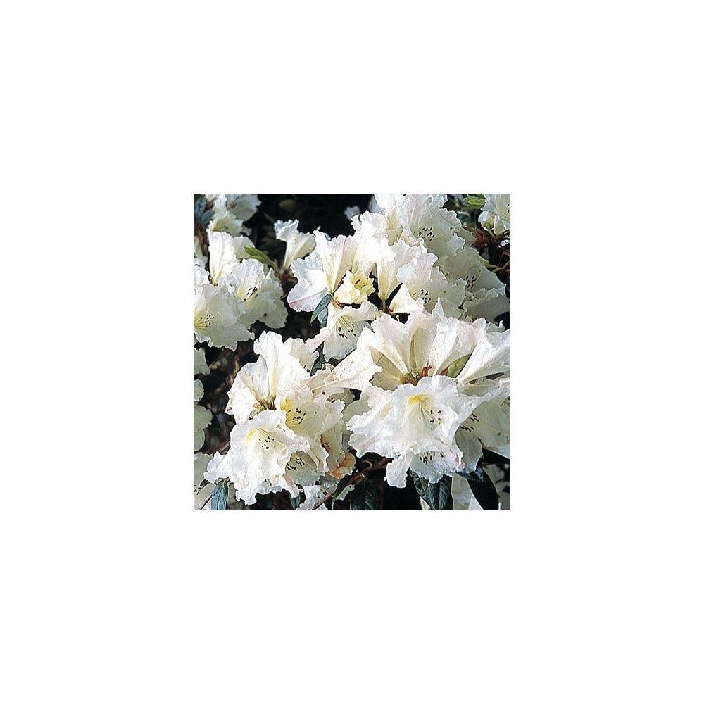 quelle exposition pour un rhododendron