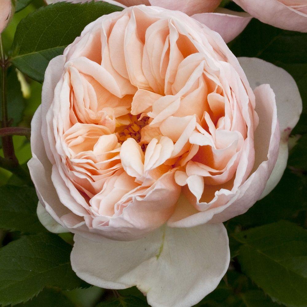 Rosier 'Belle Romantica ®' Meigapencey – Rosier Meilland