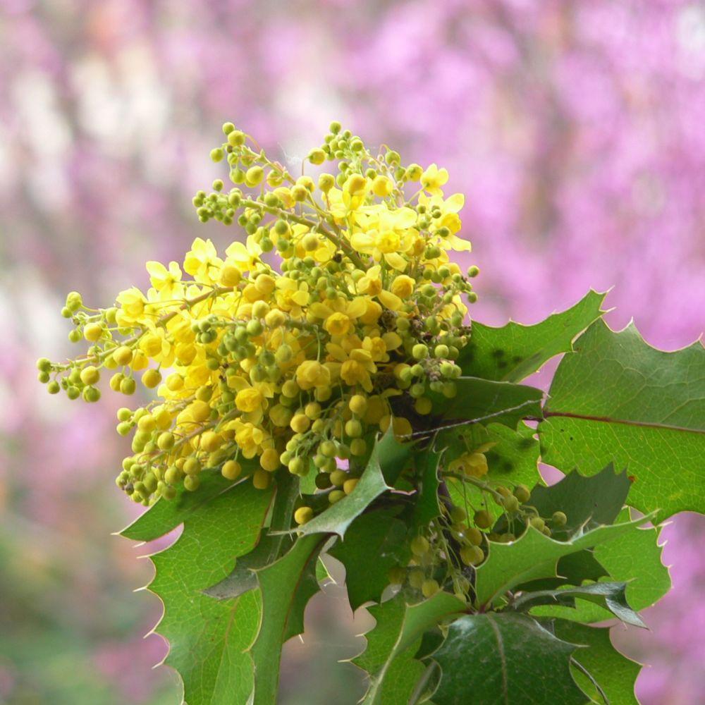Mahonia faux houx pot de 7 5 litres gamm vert - Arbuste fleurs jaunes qui fleurit printemps ...