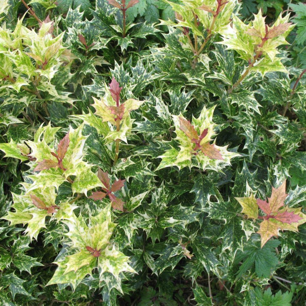 osmanthe feuilles de houx 39 tricolor 39 pot de 4 litres gamm vert. Black Bedroom Furniture Sets. Home Design Ideas