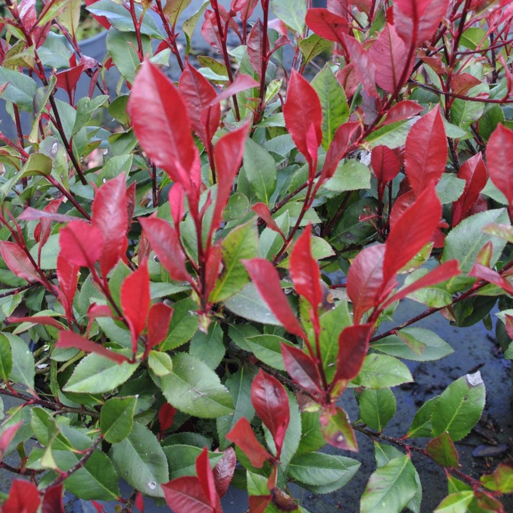 photinia nain 39 little red robin 39 pot de 4 litres gamm vert. Black Bedroom Furniture Sets. Home Design Ideas