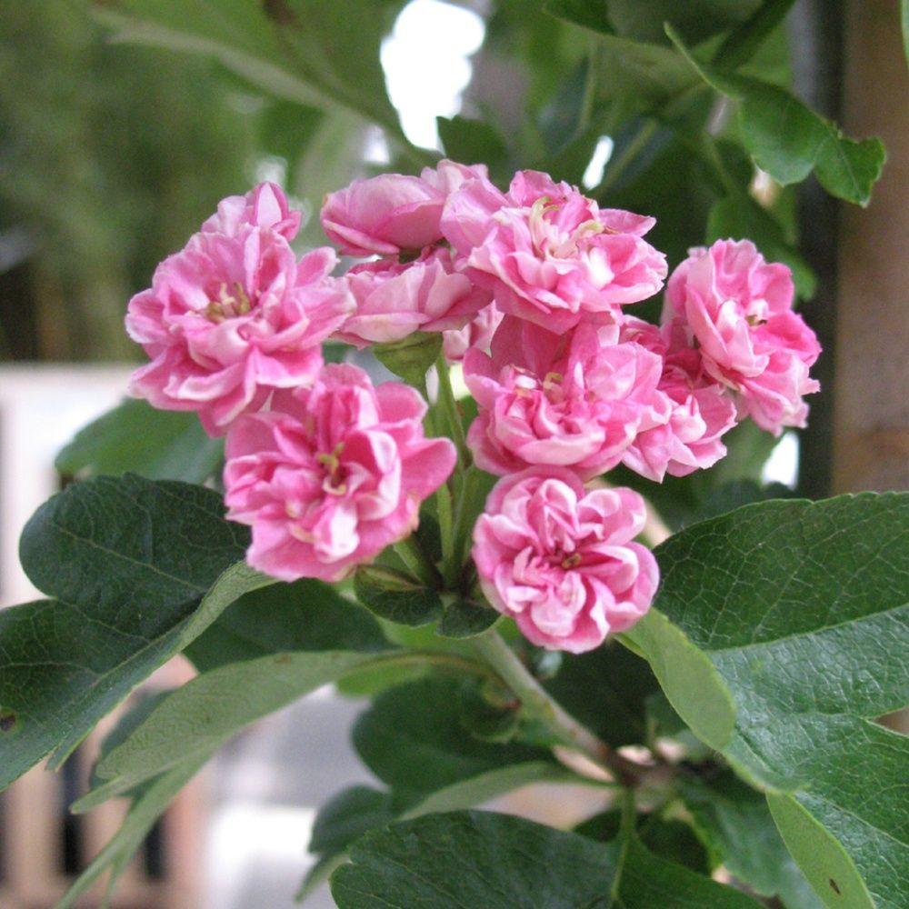 Aubépine commune 'Rosea flore plena'