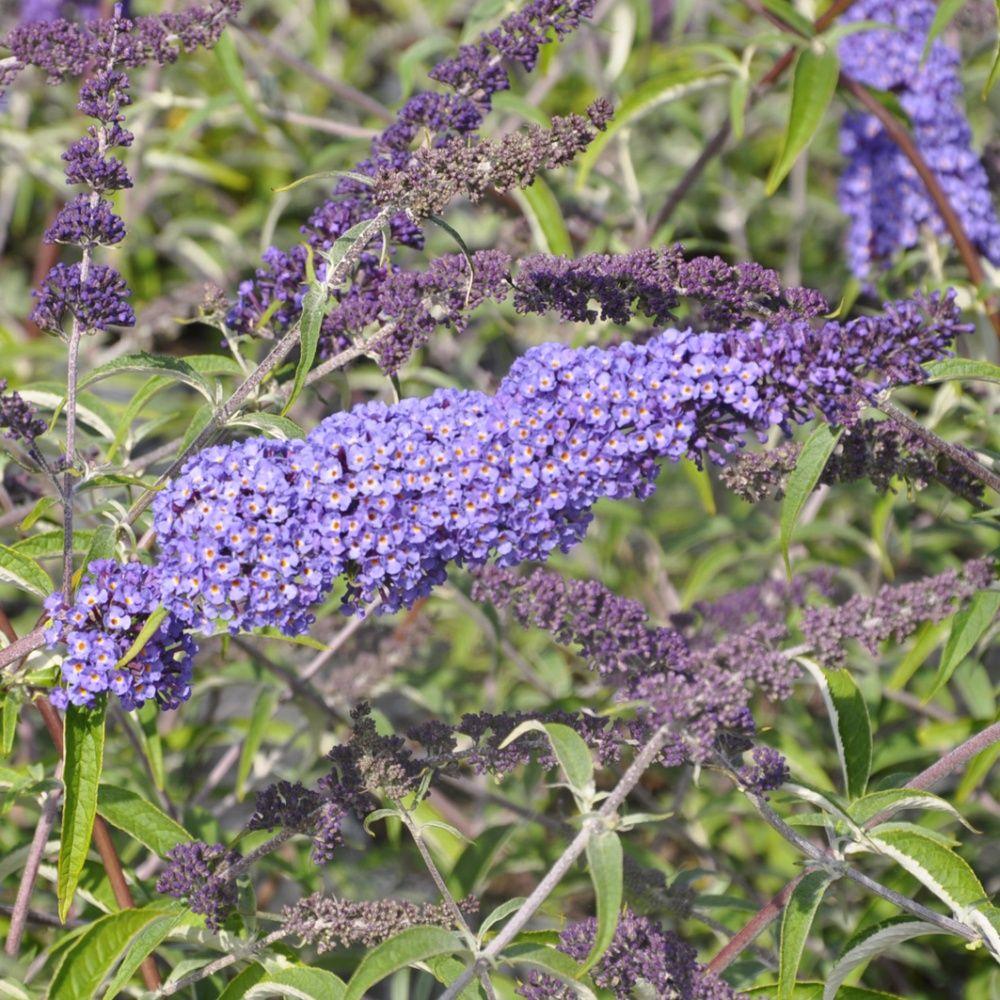 arbre aux papillons 'nanho blue' pot de 4 litres - gamm vert