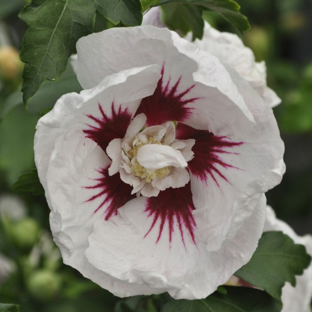 hibiscus syriacus 39 helene 39 pot de 7 5 litres gamm vert. Black Bedroom Furniture Sets. Home Design Ideas