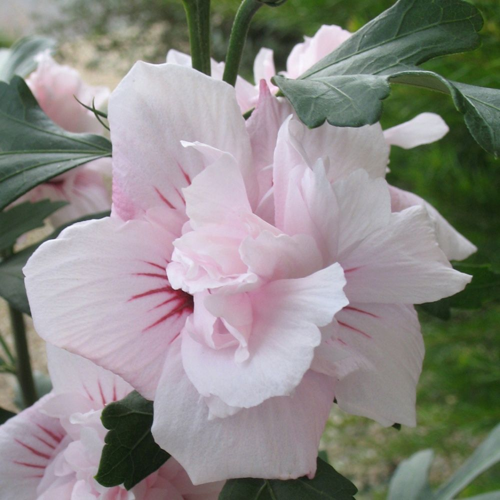 hibiscus syriacus 39 salima 39 pot de 4 litres gamm vert. Black Bedroom Furniture Sets. Home Design Ideas
