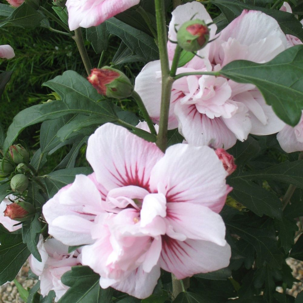 hibiscus syriacus 39 salima 39 pot de 7 5 litres gamm vert. Black Bedroom Furniture Sets. Home Design Ideas