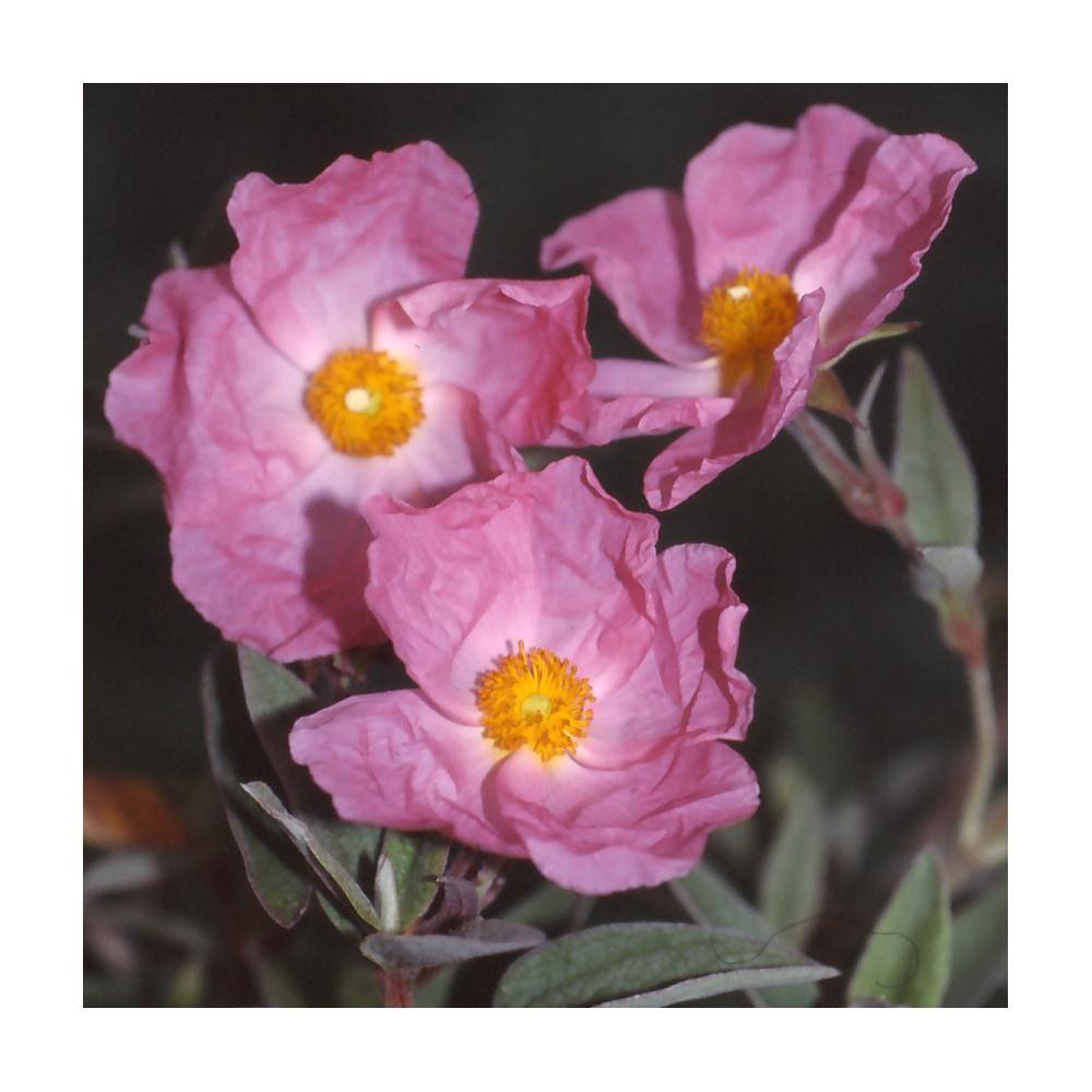 Ciste argenté 'Silver pink'