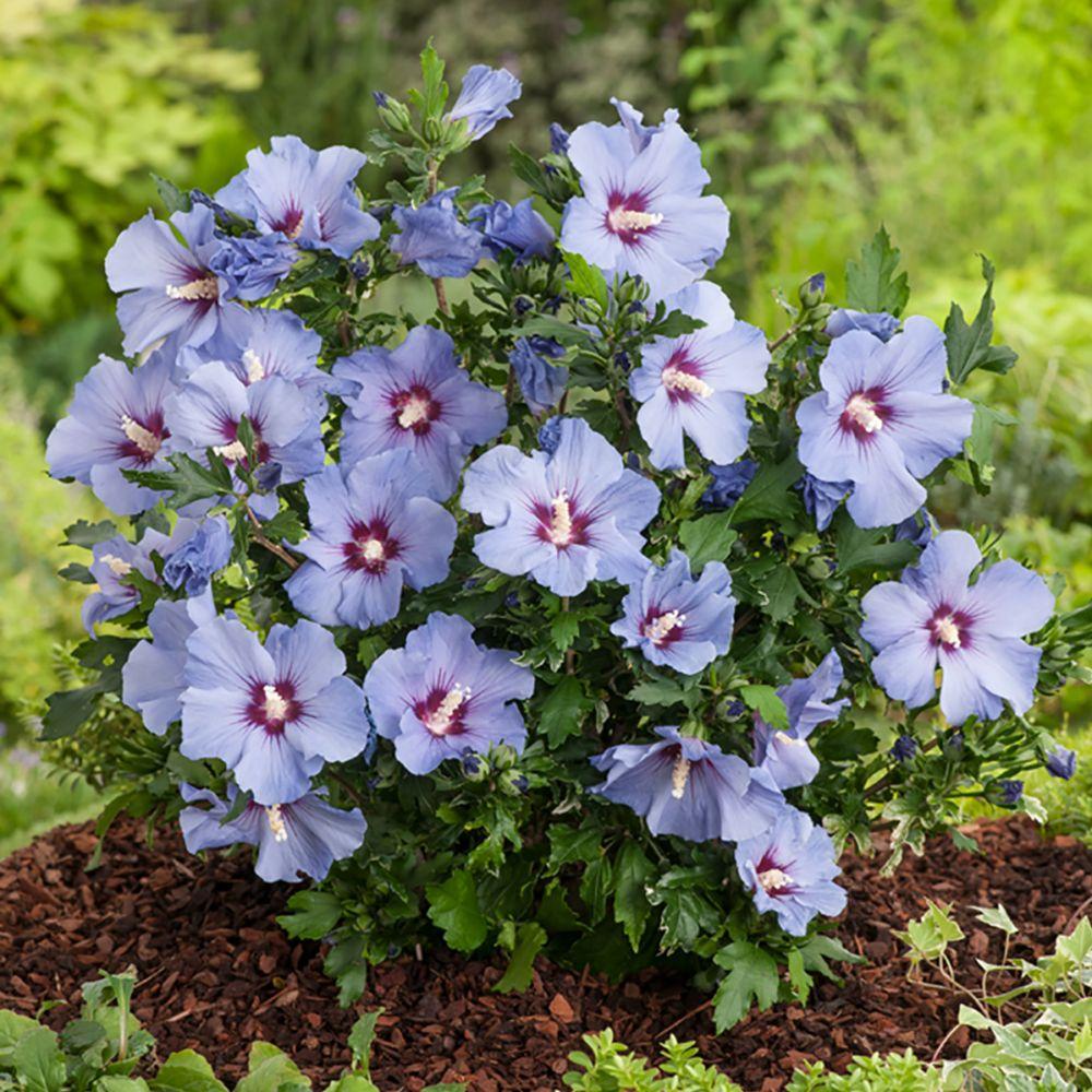 hibiscus syriacus 39 marina 39 pot de 4 litres gamm vert. Black Bedroom Furniture Sets. Home Design Ideas
