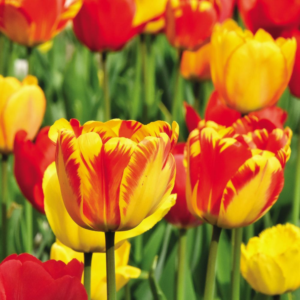 Tulipe 'Darwin Hybride' variées (lot de 50 bulbes)