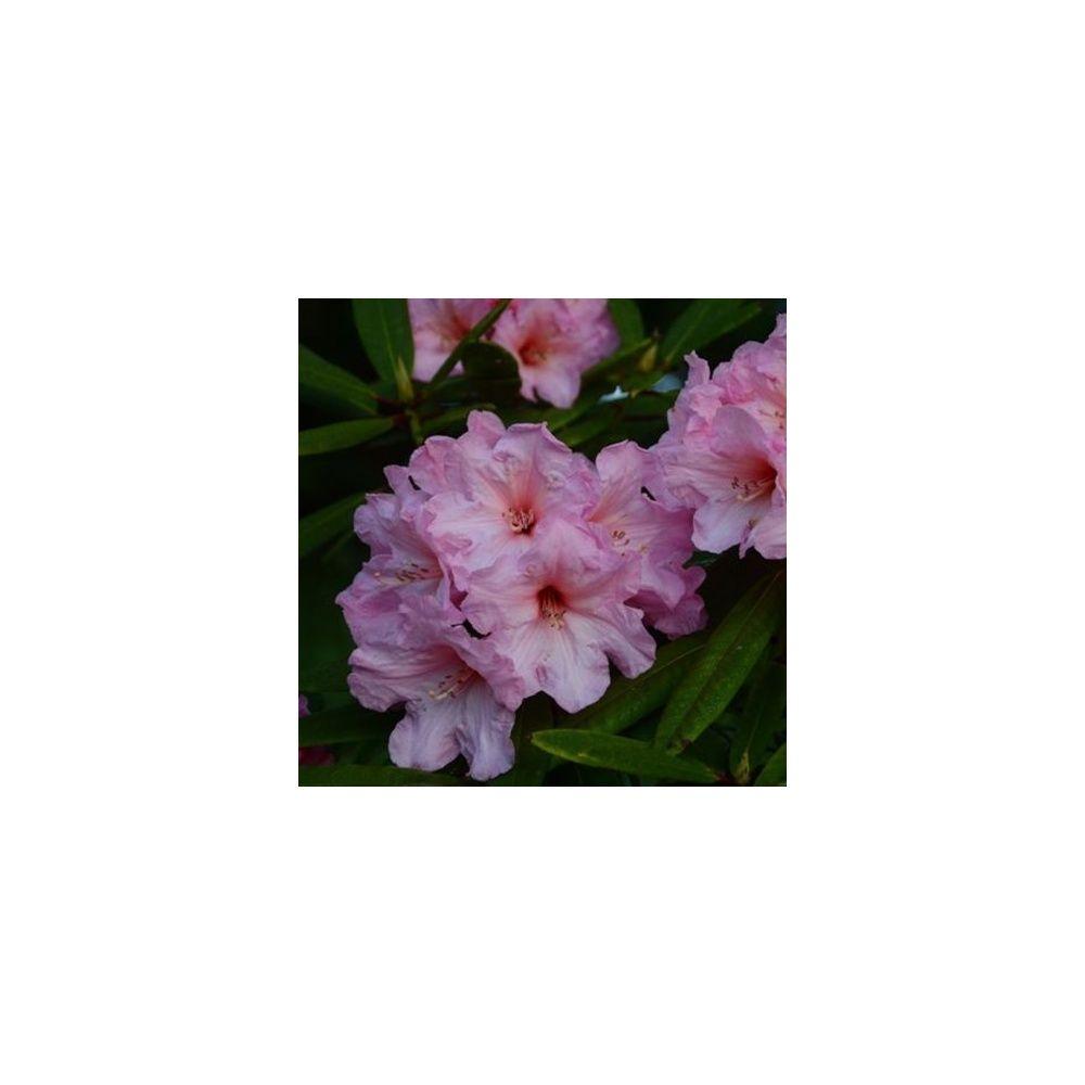 Rhododendron 'Azor'