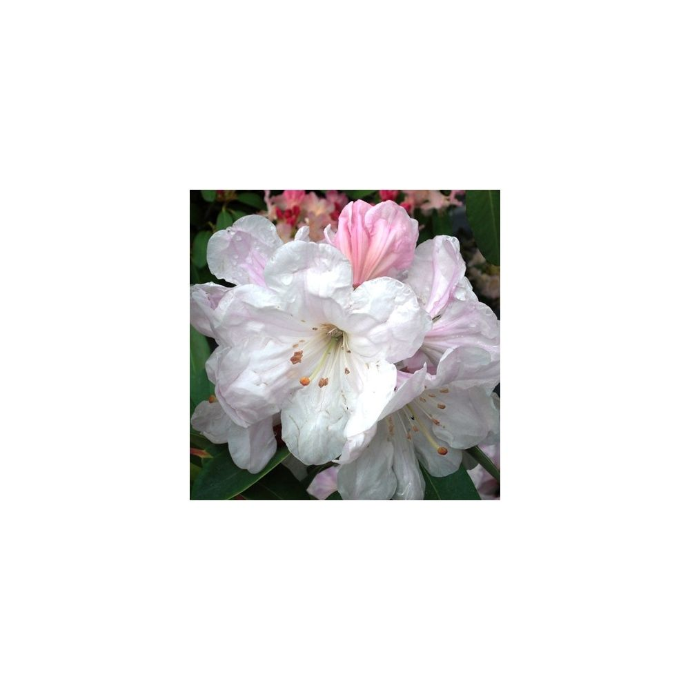Rhododendron 'Emma & May'