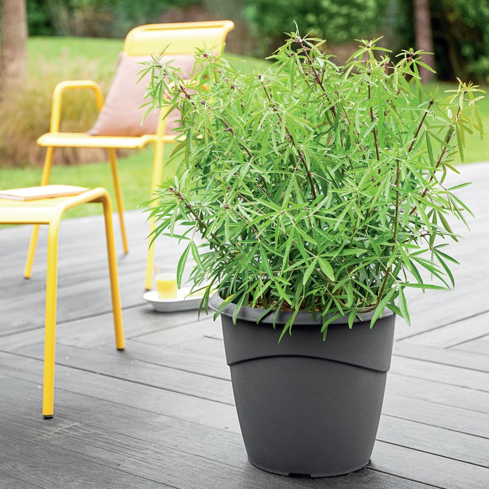 oranger du mexique 39 aztec pearl 39 pot de 16 litres xl gamm vert. Black Bedroom Furniture Sets. Home Design Ideas