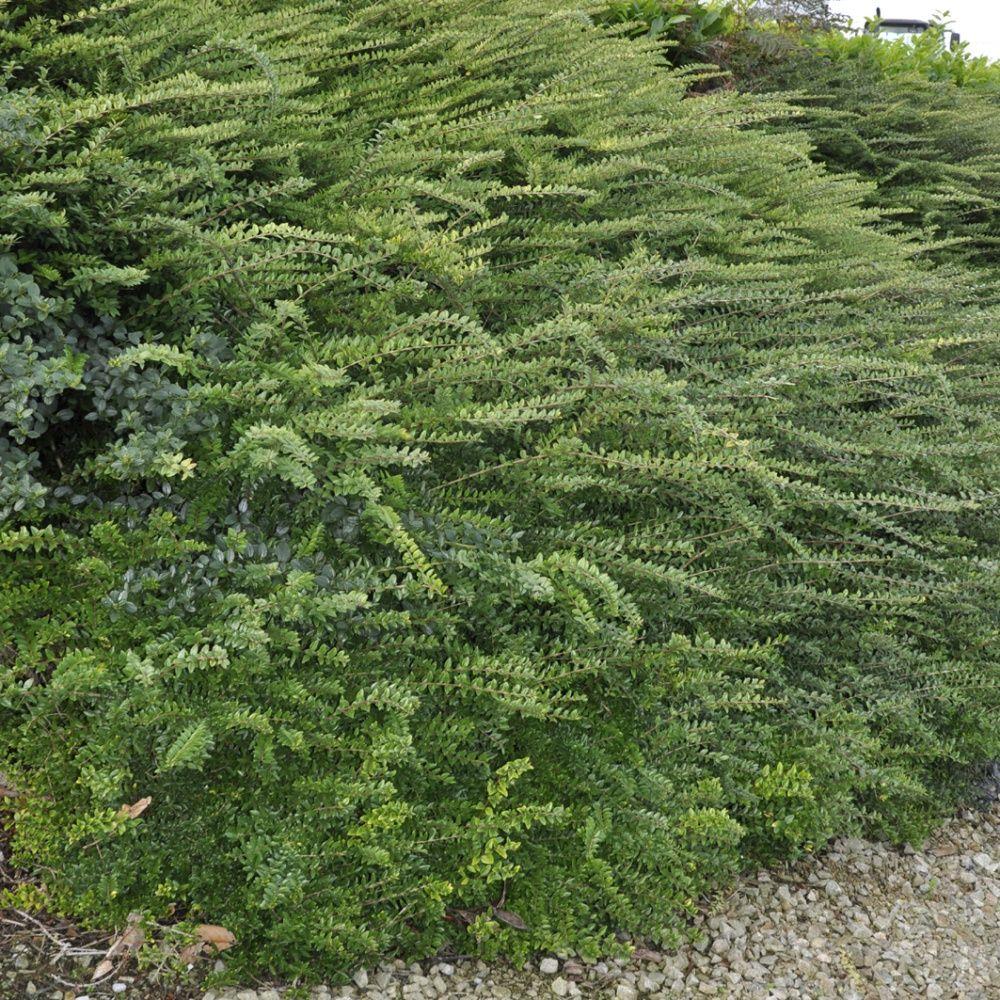 Ch vrefeuille arbustif pot de 2 litres gamm vert for Arbuste decoratif exterieur