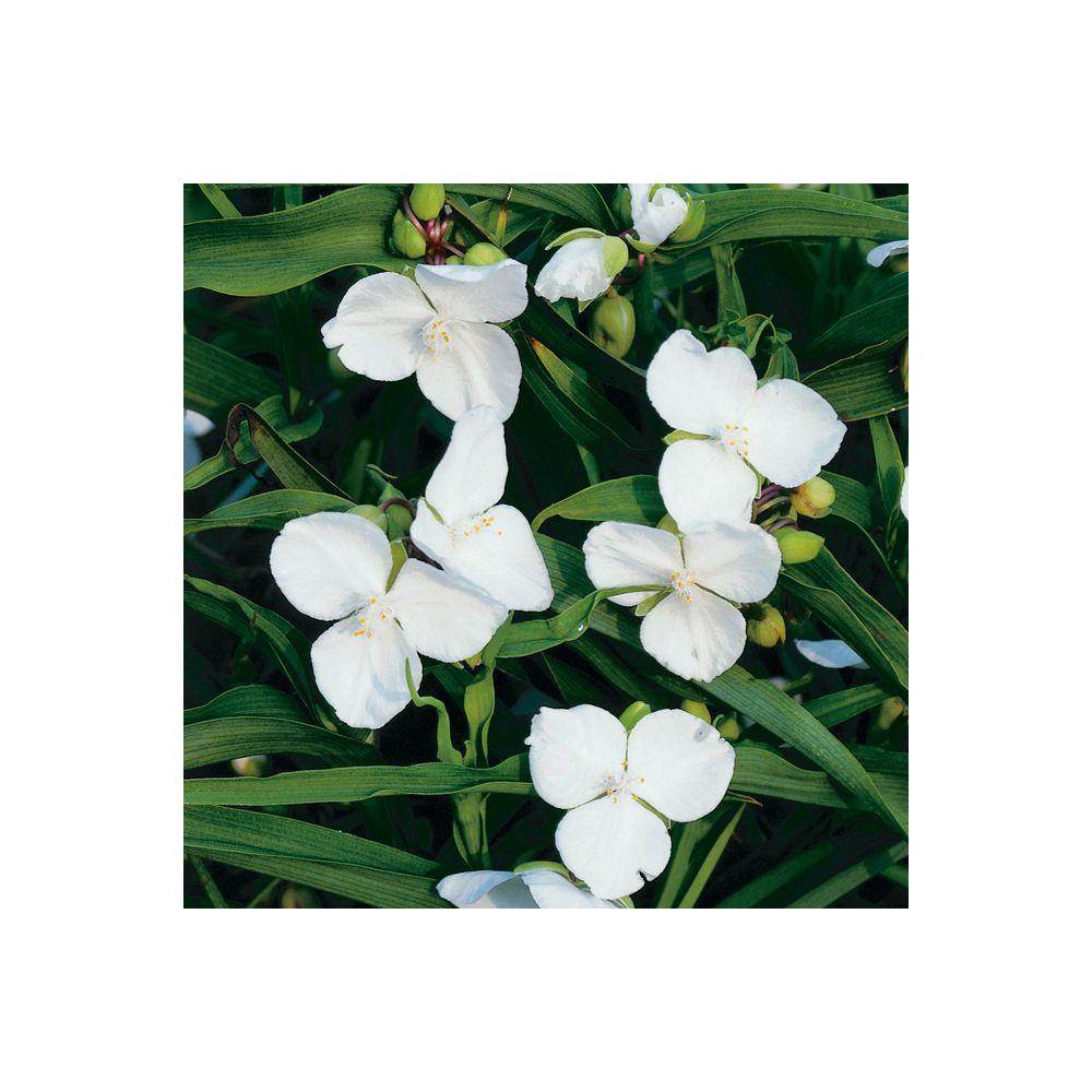 Tradescantia andersoniana blanc
