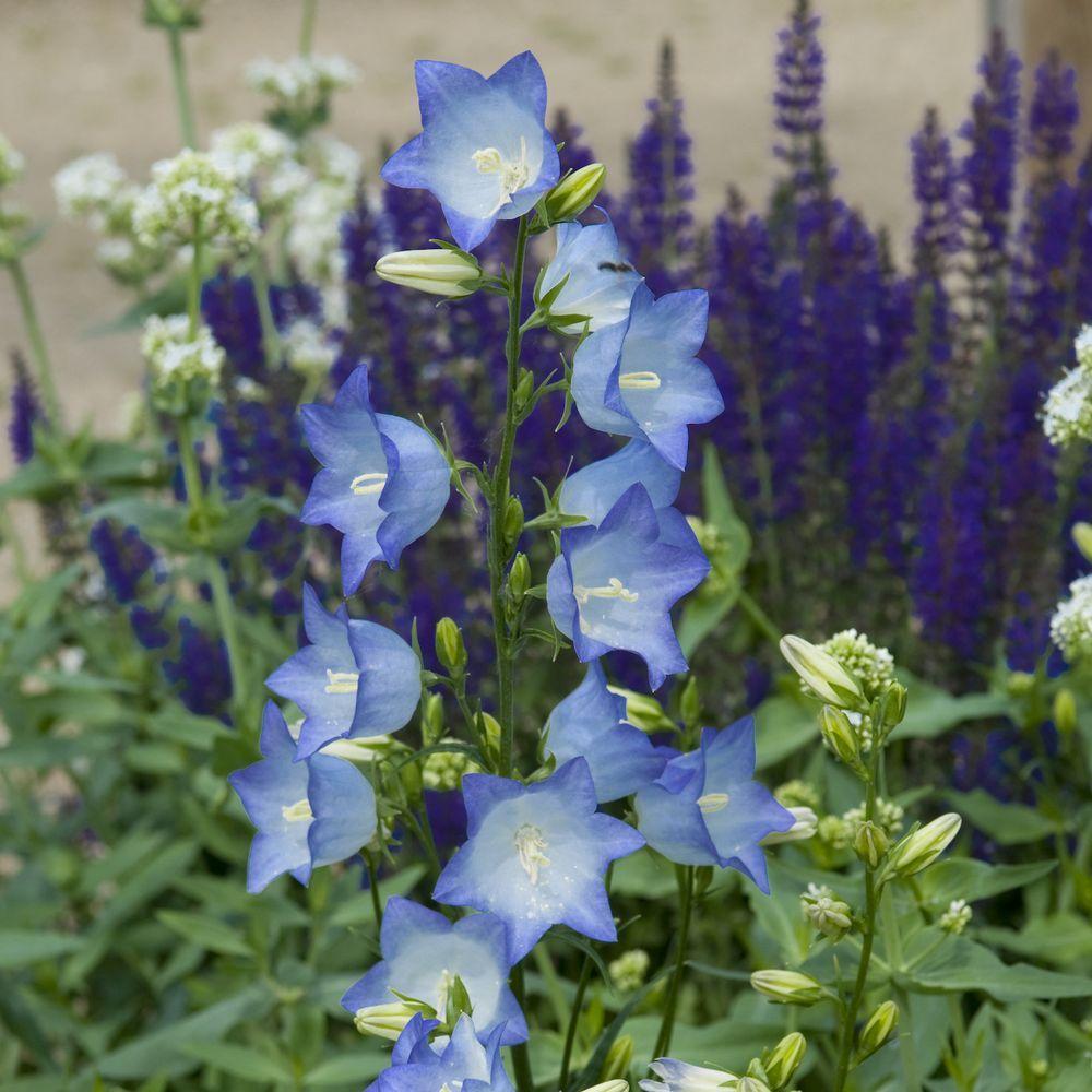 Campanule de Perse bleue – Campanula persicifolia