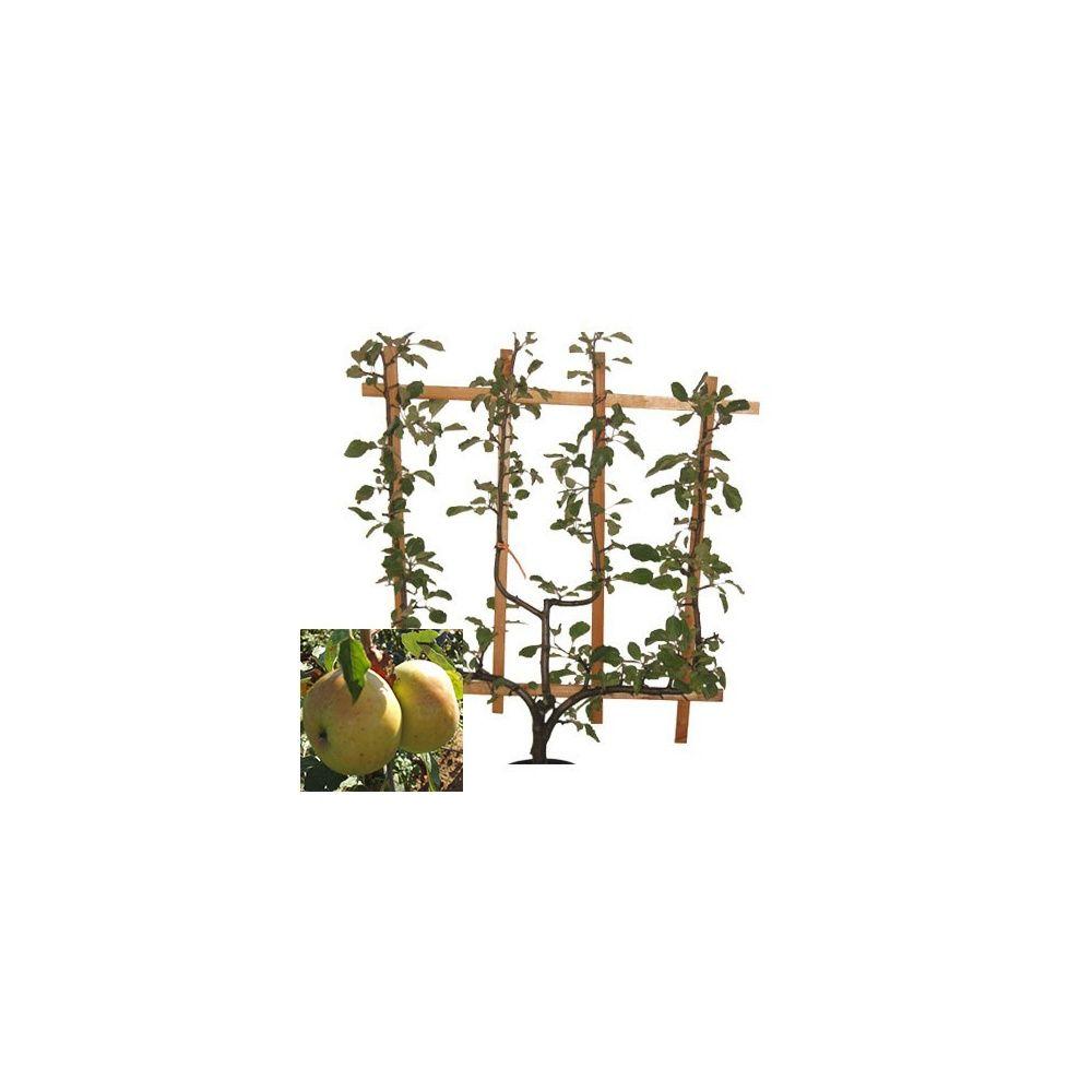 Pommier 'Ménagère' : taille en palmette verrier en pot