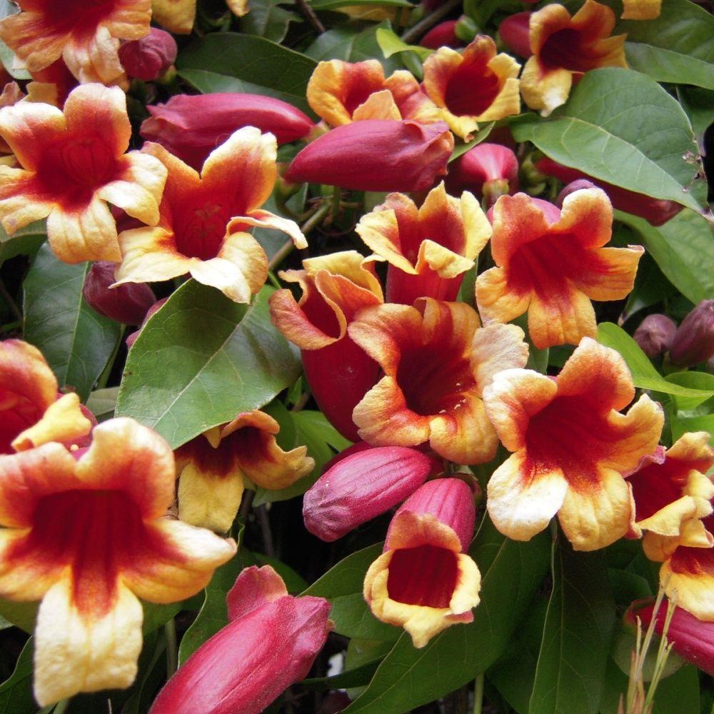plantes grimpantes a feuillage persistant