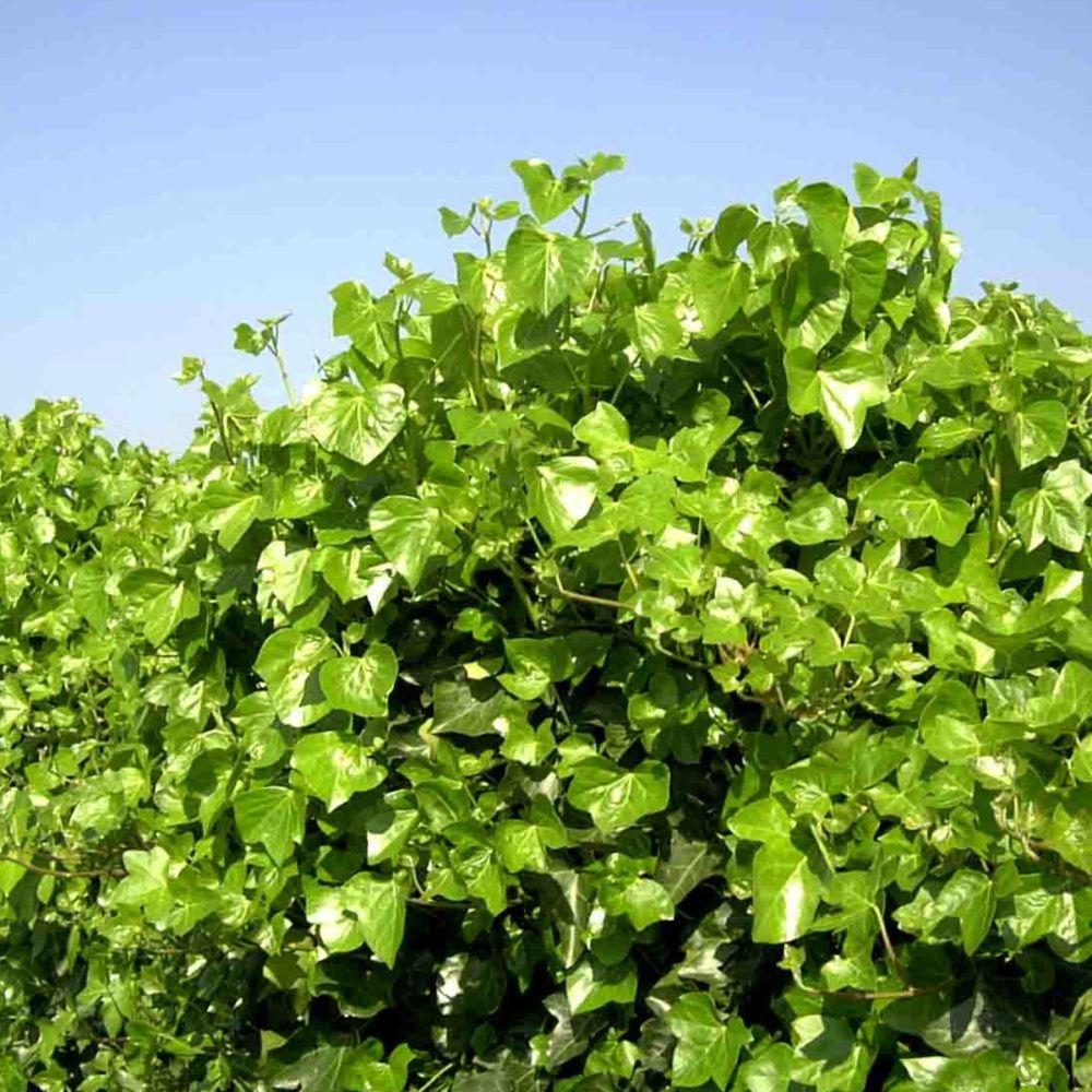 Lierre d 39 irlande pot de 3 litres 18 24 mois de culture for Conseil sur les plantes