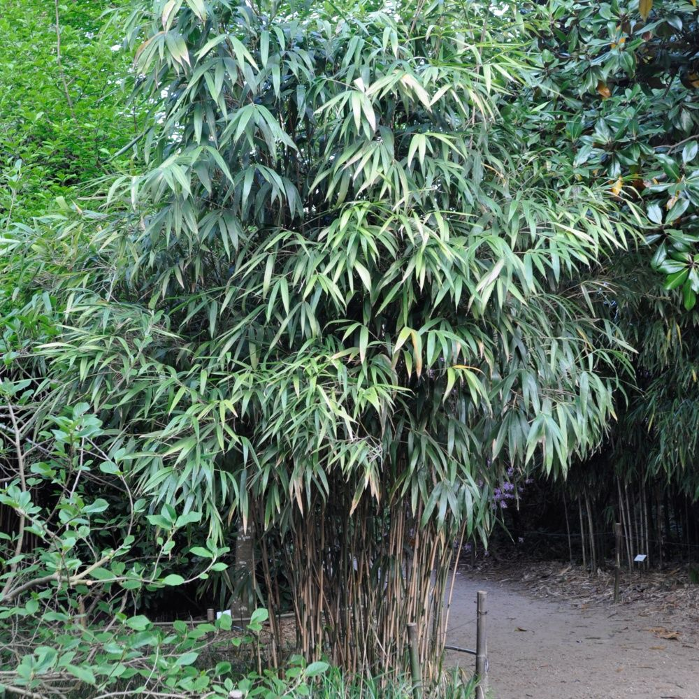bambou moyen : pseudosasa japonica pots de 2 litres, hauteur 30/40