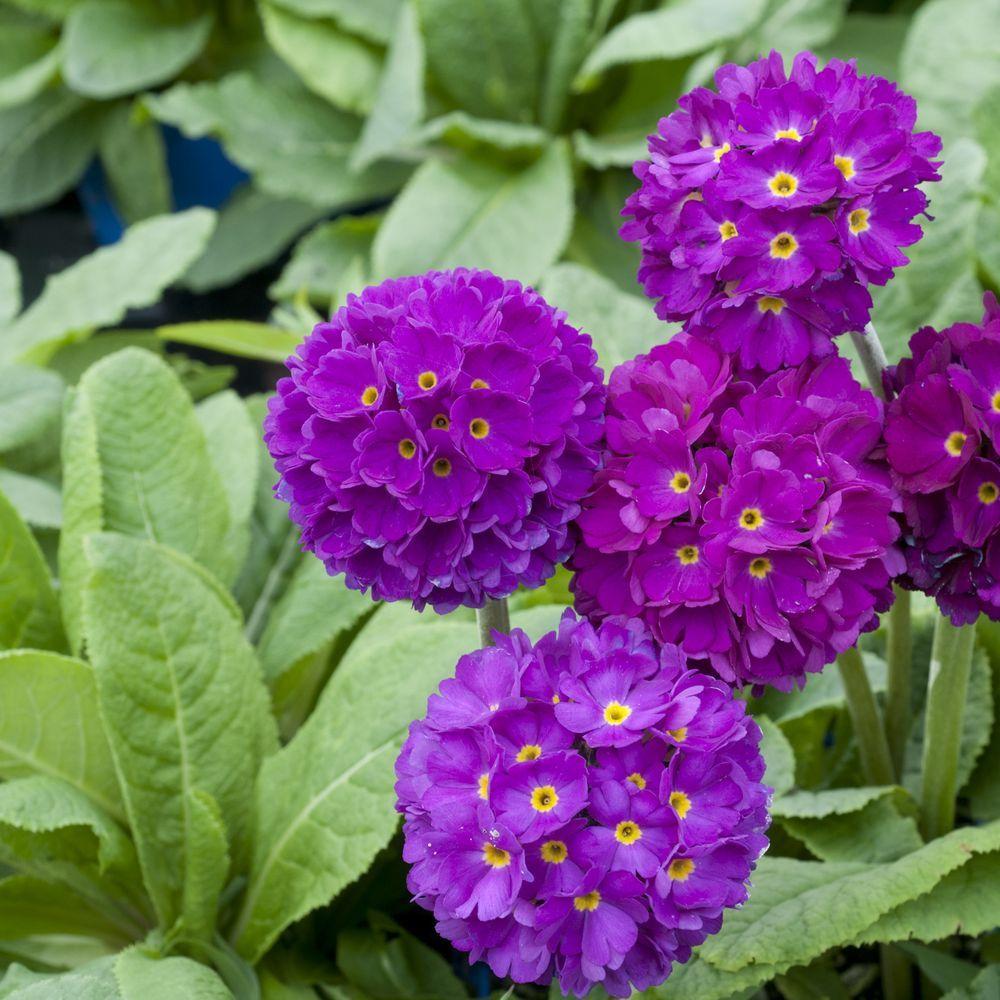 Primevère de l'Himalaya Rubin – Primula denticulata