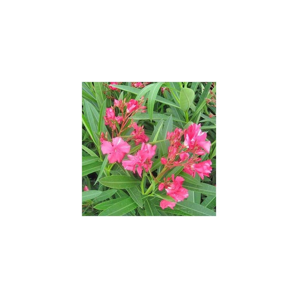 Laurier rose 39 g ant des batailles 39 pot de 3 litres hauteur 40 cm gamm vert - Taille des lauriers roses en pot ...