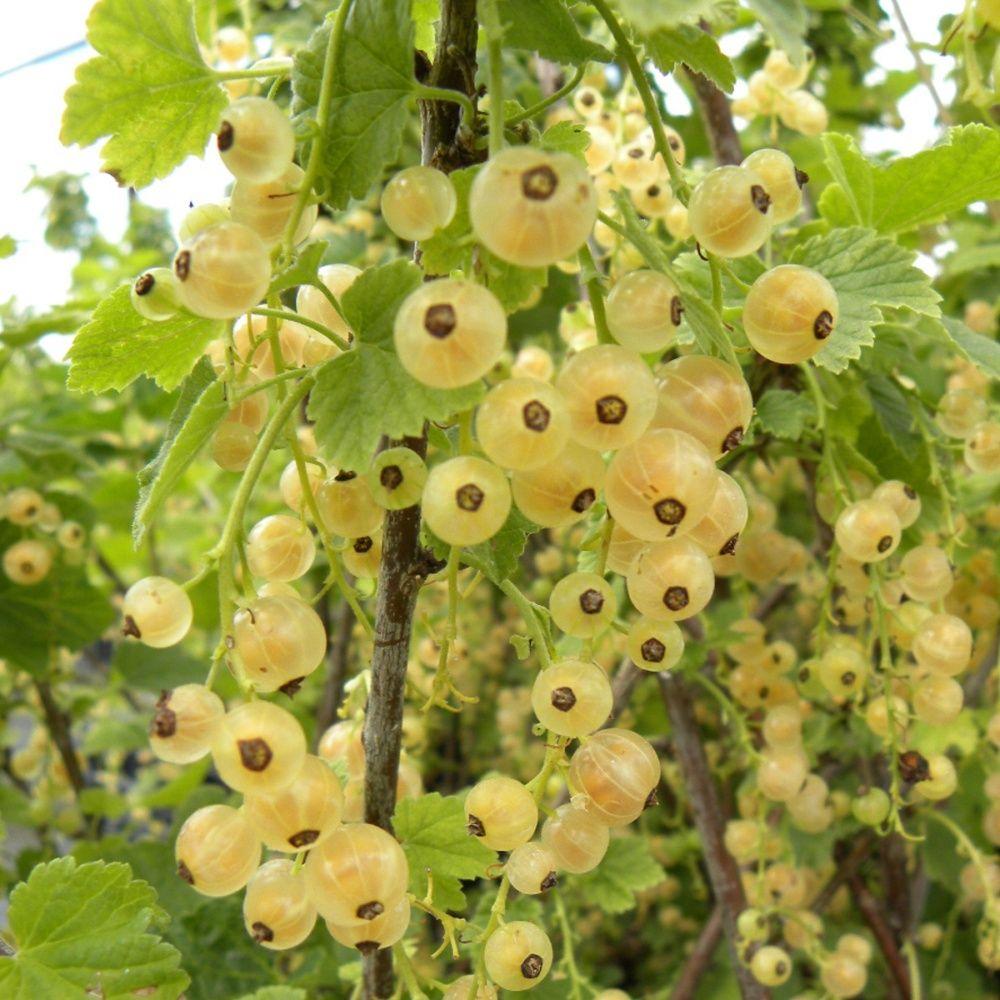 Groseillier àgrappes blanches 'Hollande Blanche'
