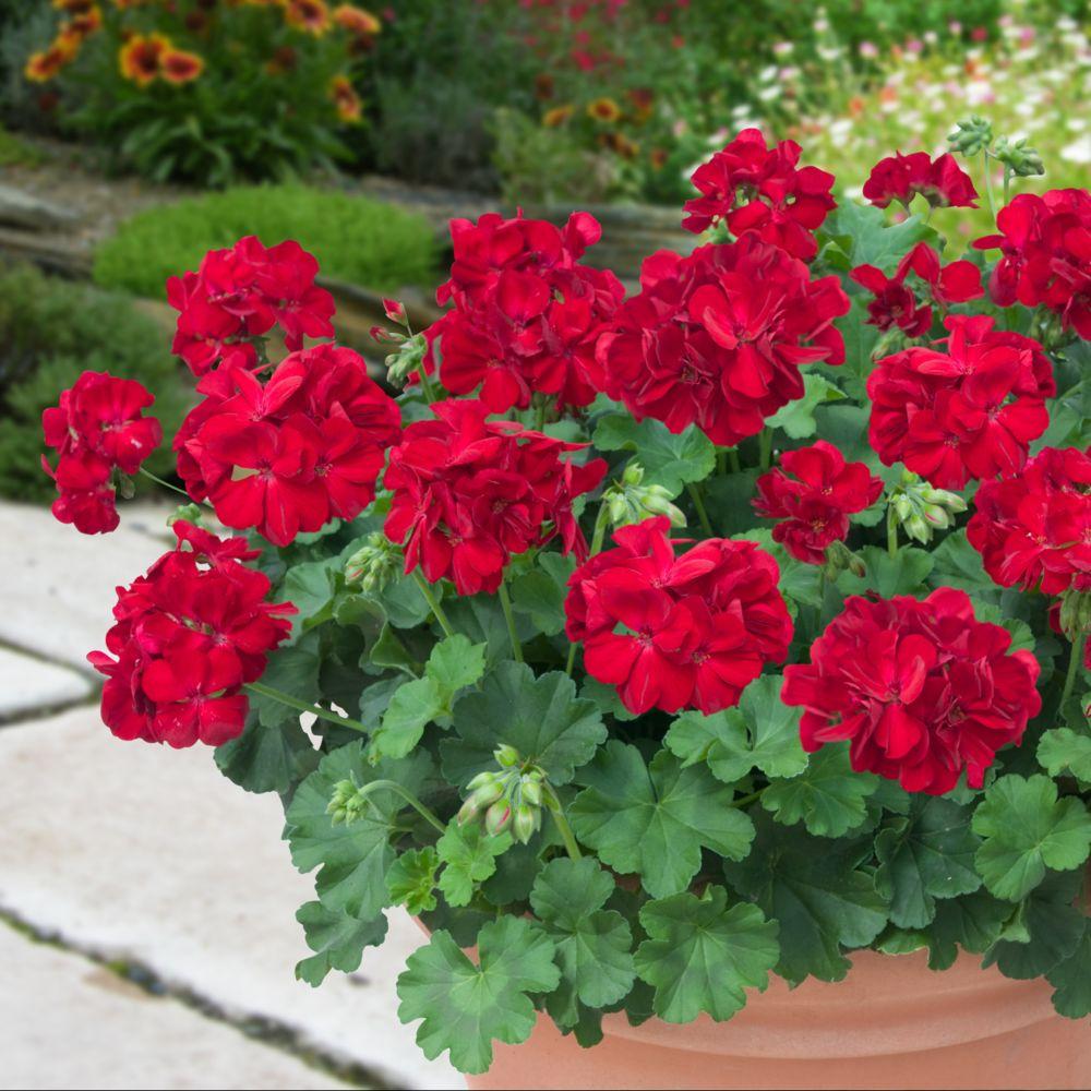 geranium interspecifique calliope rouge lot de 6 godets de 7cm gamm vert. Black Bedroom Furniture Sets. Home Design Ideas