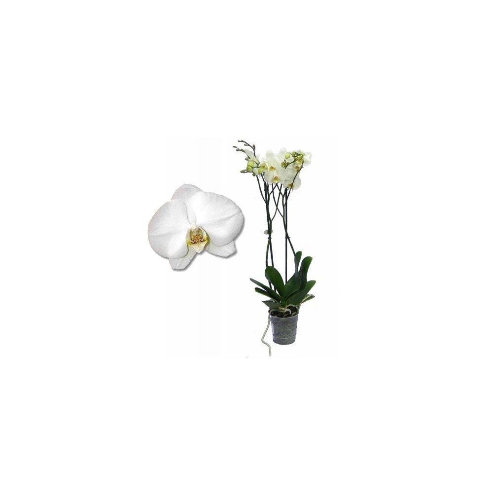 Orchidée : Phalaenopsis blanc pur  en fleurs (2 hampe florale)