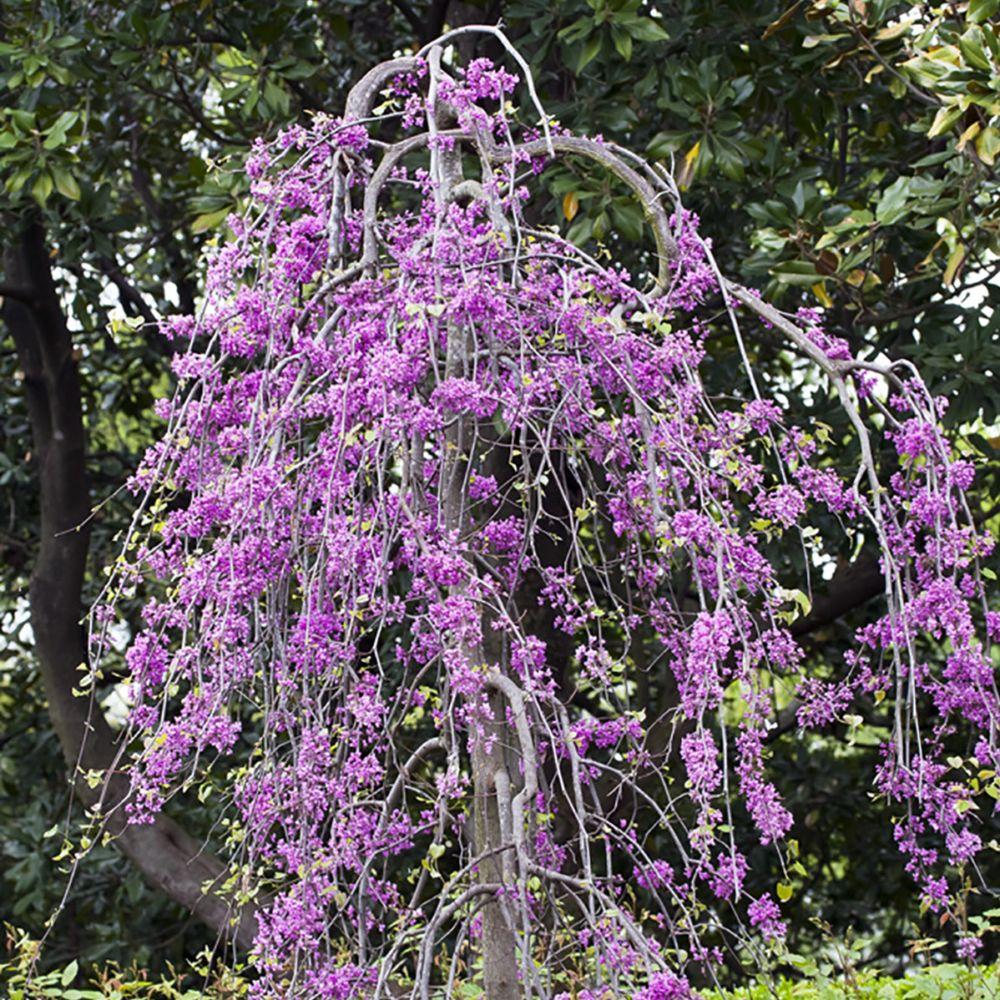arbre de judée pleureur 'lavender twist covery' pot de 15 litres