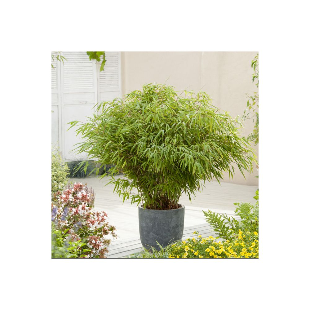 petit bambou fargesia rufa pot de 5 litres hauteur 40 60 cm gamm vert. Black Bedroom Furniture Sets. Home Design Ideas
