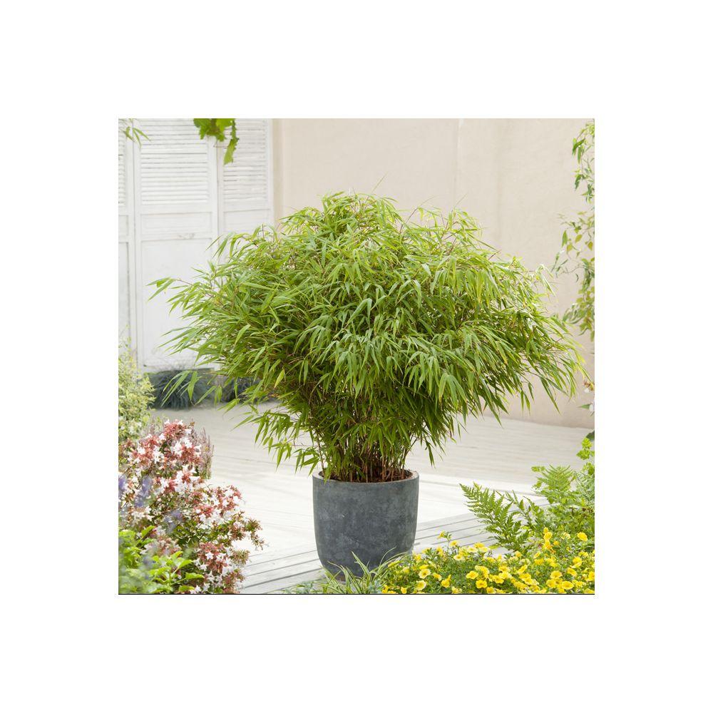 petit bambou : fargesia rufa pot de 5 litres, hauteur 40/60 cm