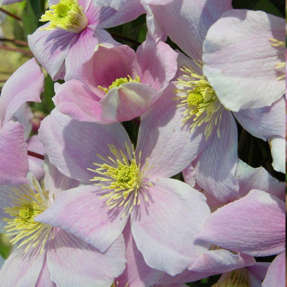 Clématite montana 'Mayleen'