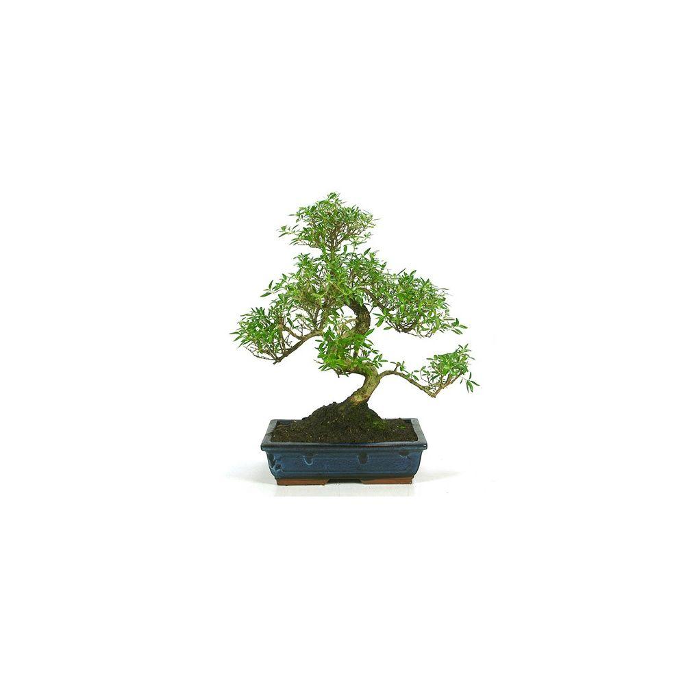 http://photos.gammvert.fr/v5/products/full/37759-bonsai-dinterieur-serissa-16-ans.jpg