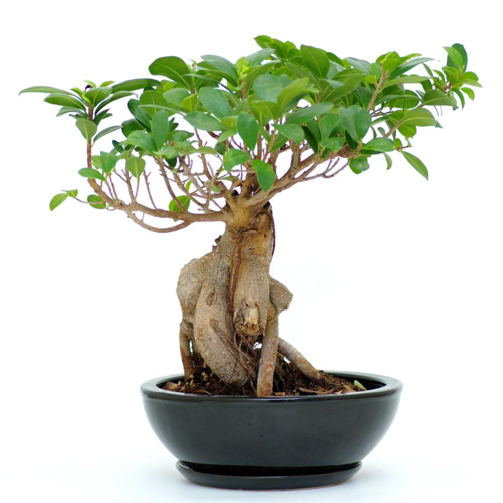Ficus microcarpa ginseng en pot de 20cm hauteur 45cm gamm vert - La maison du ginseng ...