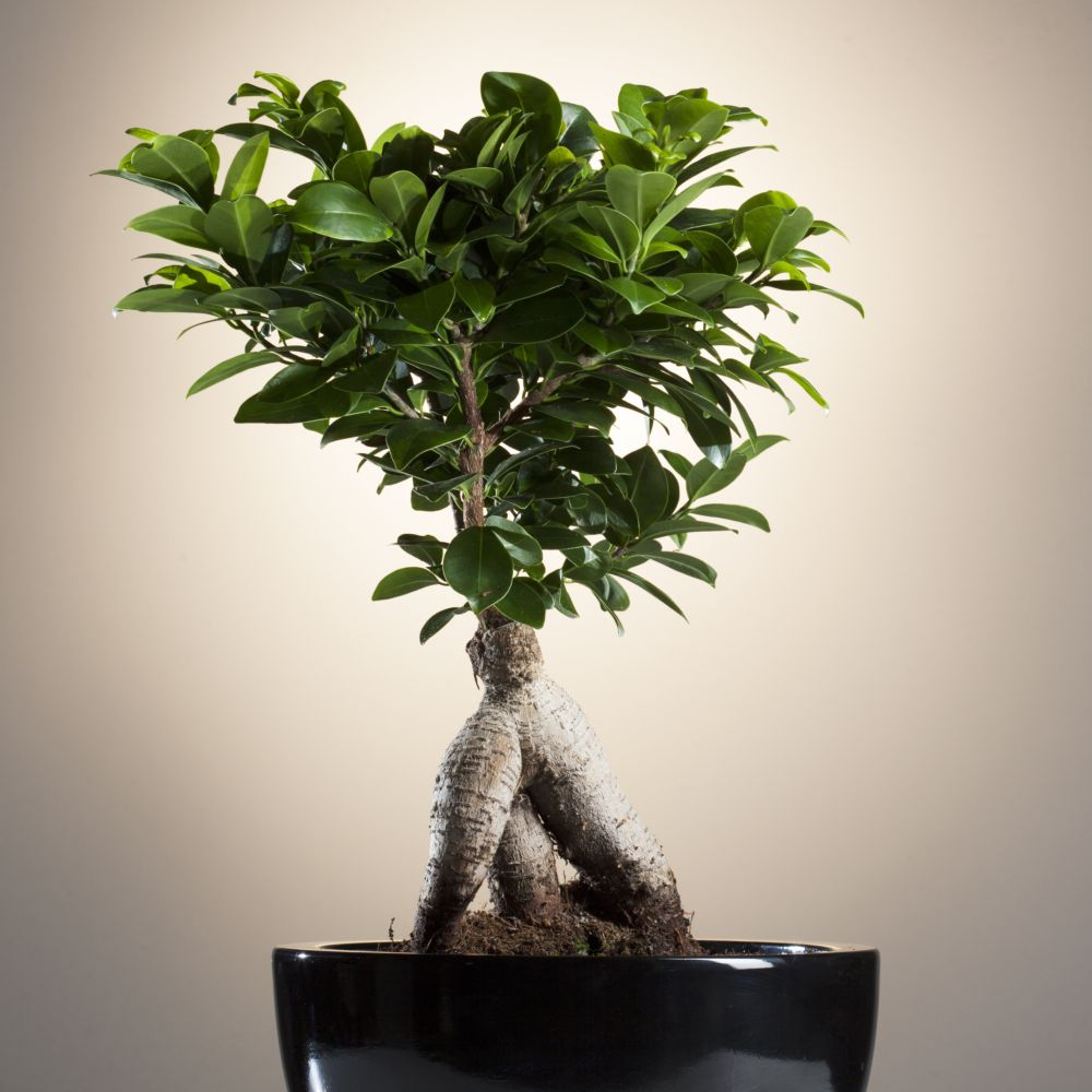 ficus microcarpa ginseng en pot de 20cm hauteur 45cm gamm vert. Black Bedroom Furniture Sets. Home Design Ideas