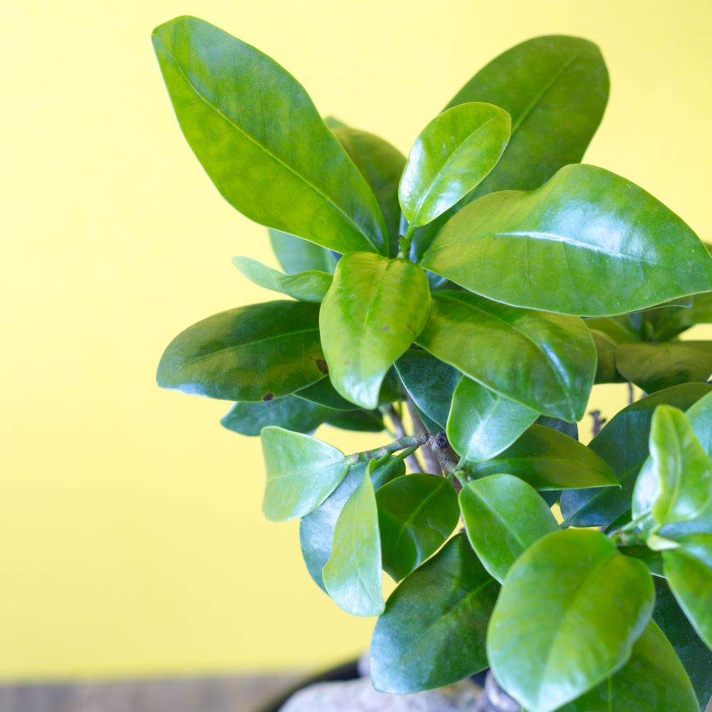 ficus microcarpa ginseng en pot de 20cm hauteur 45cm gamm vert. Black Bedroom Furniture Sets. Home Design Ideas