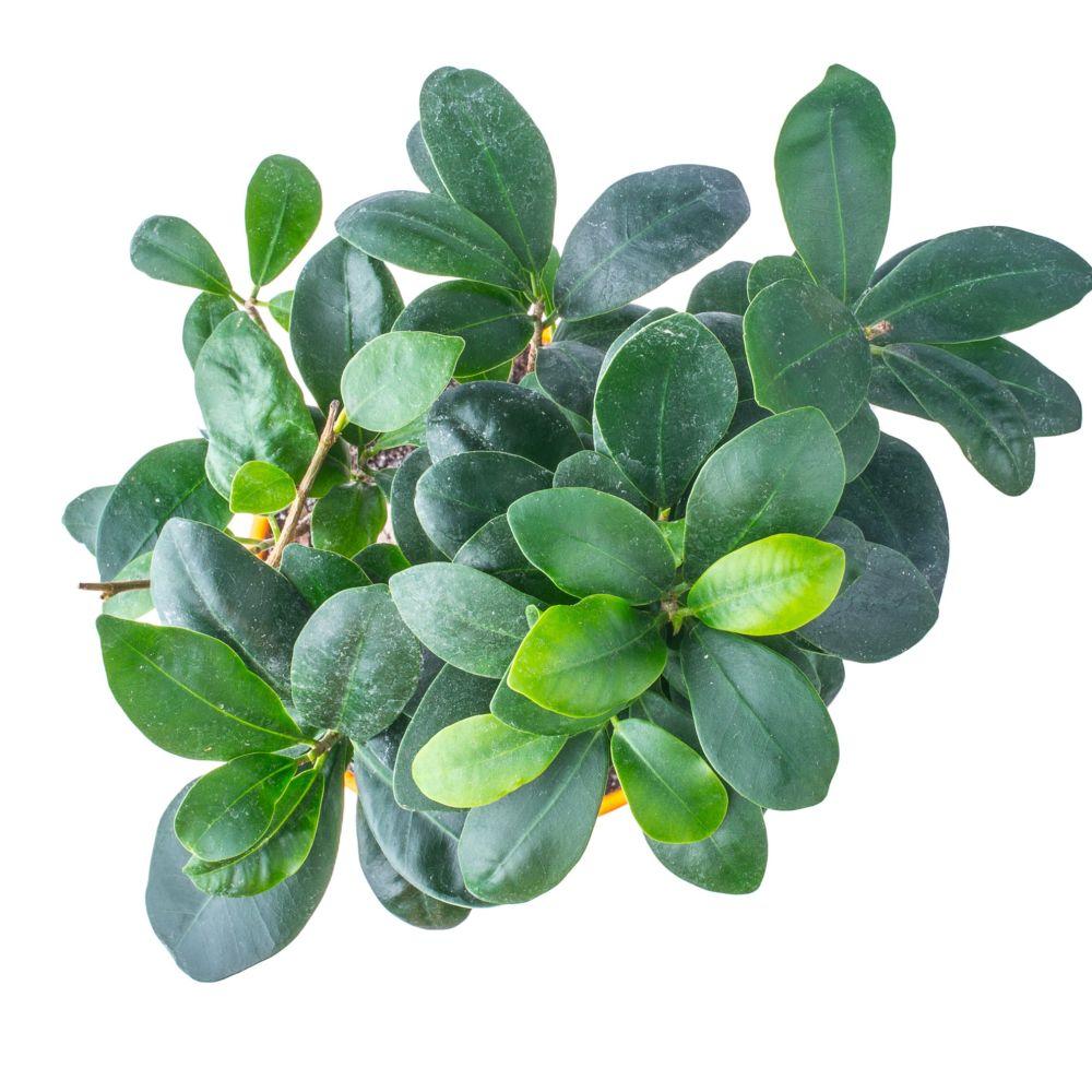 Ficus microcarpa ginseng en pot de 22cm hauteur avec pot 50cm gamm vert - La maison du ginseng ...