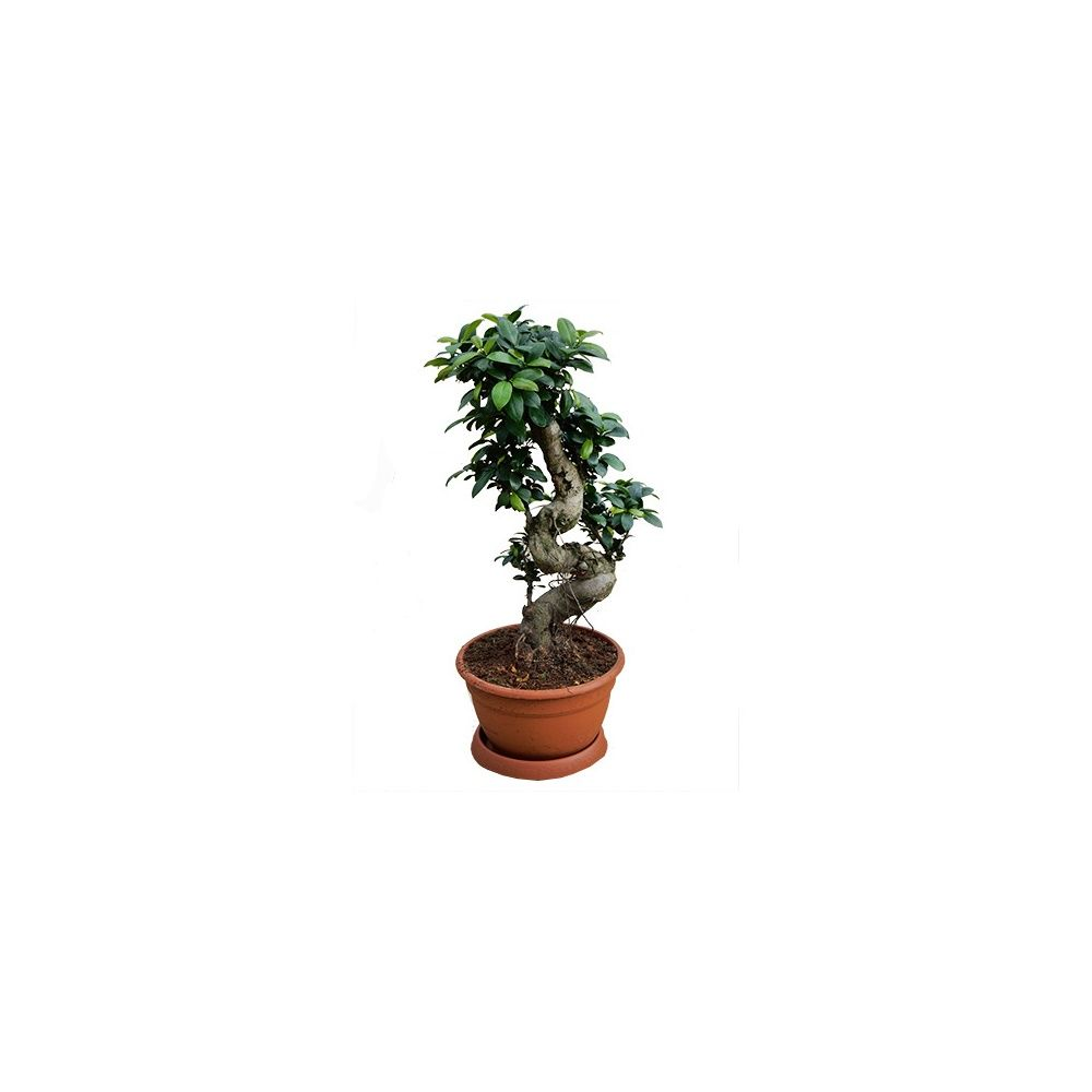 ficus microcarpa ginseng coupe de 27 cm hauteur 75 80cm gamm vert. Black Bedroom Furniture Sets. Home Design Ideas