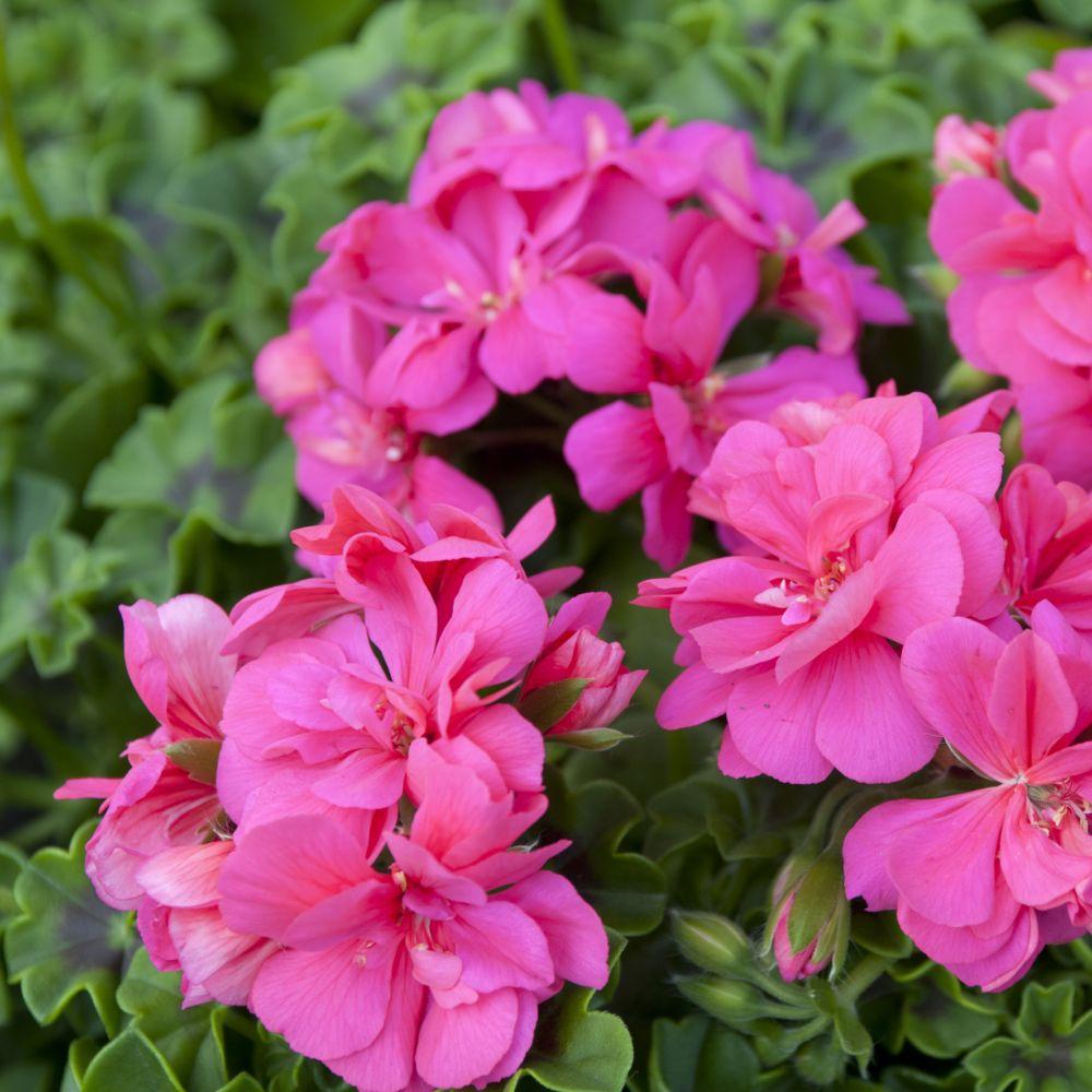 Geranium lierre double rose lot de 6 godets de 7cm gamm vert - Geranium lierre double ...
