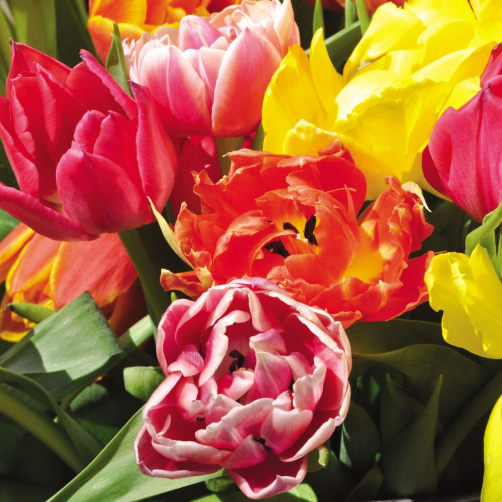 Tulipes doubles hâtives variées