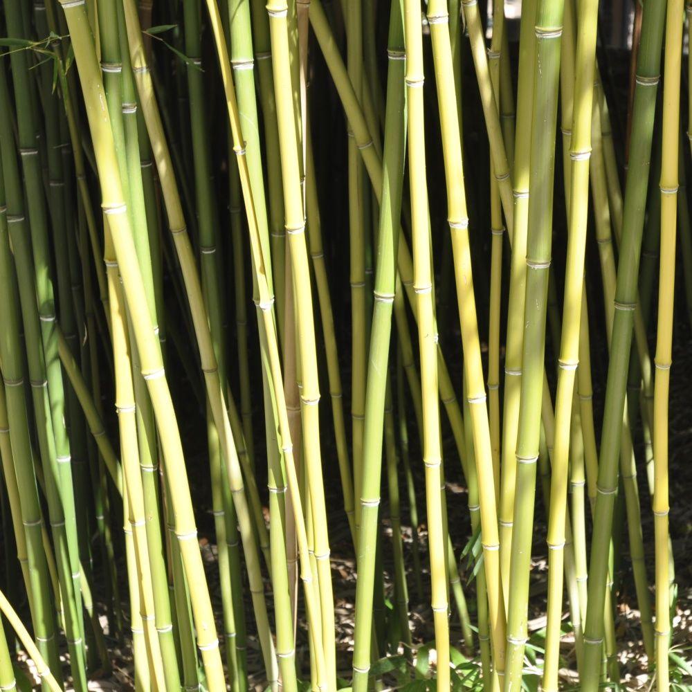 bambou moyen : phyllostachys humilis pot de 7 litres, hauteur 100