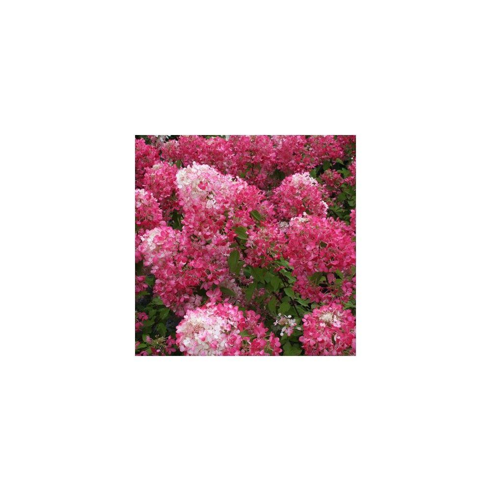 Hortensia paniculata 'Diamant Rouge' ®