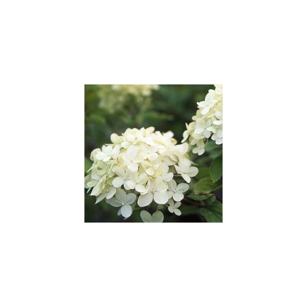 Hortensia paniculata 'Limelight' ®