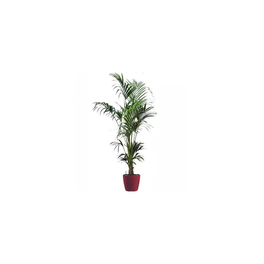 Kentia (hauteur 180/200cm) + rempotage
