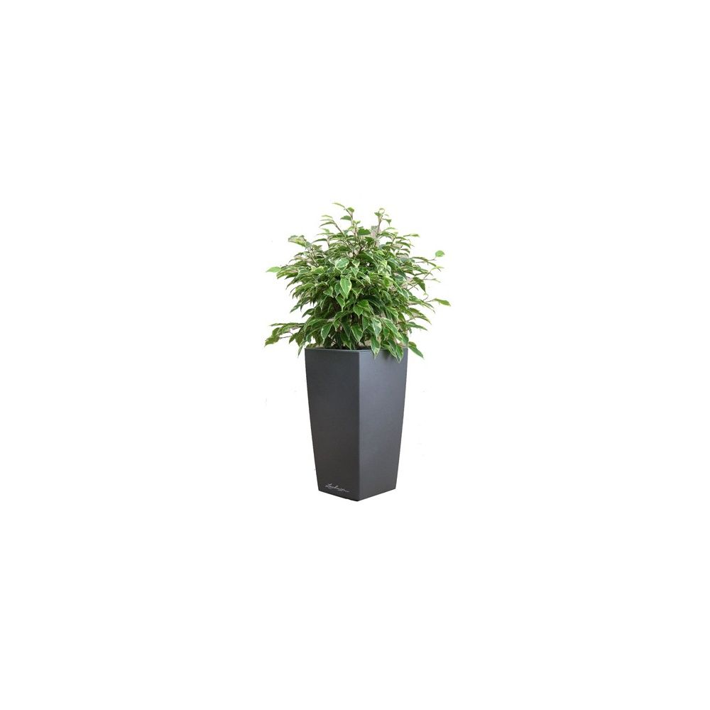 Ficus Kinky + rempotage