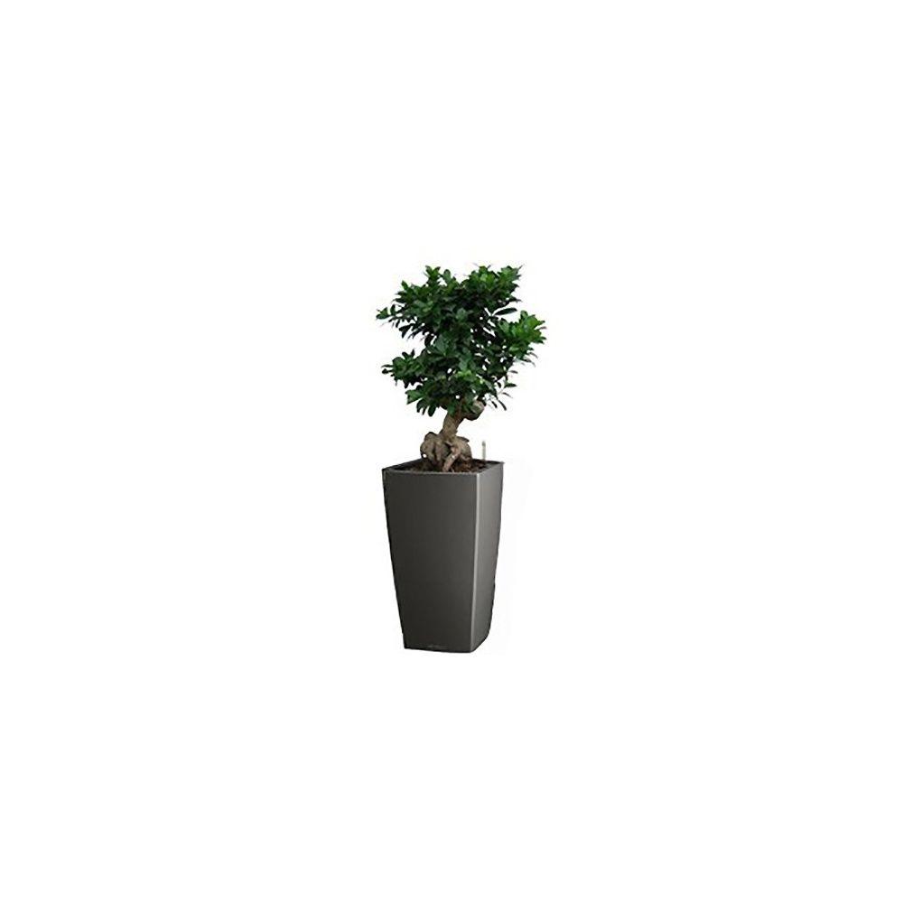 Ficus retusa 'compacta' grand modèle + rempotage